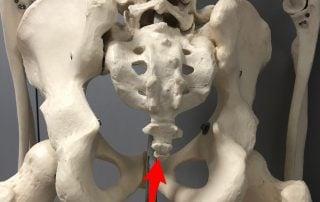 modelo anatómico óseo